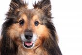 foto of sheltie  - Cute closeup portrait of a shetland sheepdog otherwise known as a Sheltie with copyspace on a white background - JPG