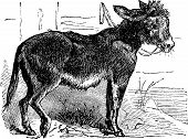 stock photo of jack-ass  - Domesticated donkey ass asinus vulgaris or Equus africanus asinus old vintage engraving - JPG
