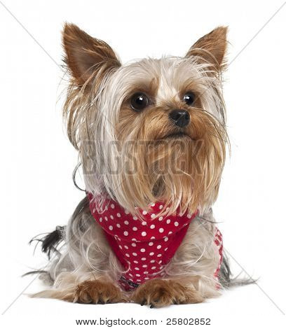 Yorkshire Terrier wearing red and white polka dots, 1 year old, lying in front of white background