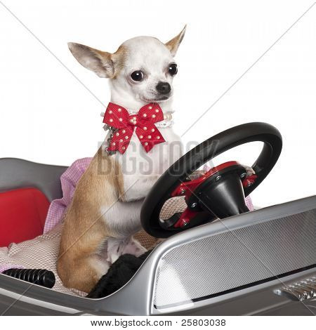 Close-up of Chihuahua puppy, 6 months old, driving convertible in front of white background