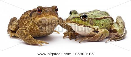 Common European frog or Edible Frog, Rana kl. Esculenta, next to  common toad or European toad, Bufo bufo, in front of white background