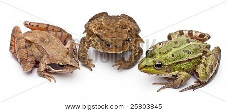 Common European frog or Edible Frog, Rana kl. Esculenta, next to a common toads or European toad. Bufo bufo, and a Moor Frog, Rana arvalis, in front of white background