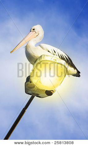 Light Pelican