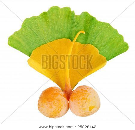 Ginkgo Biloba Fruits Twig Over Leaves Isolated On White, Macro