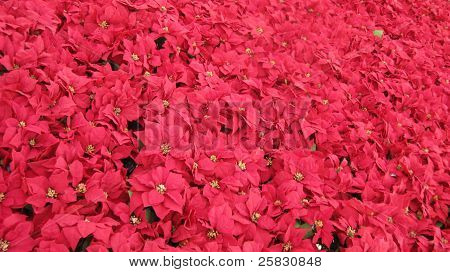 Bunches of poinsettias