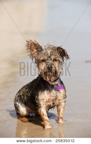 Dirty wet puppy playing at the beach