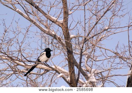 Magpie In Tree