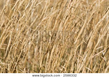 Dry Switch Grass Background
