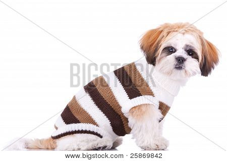 Cute Little Dressed Shih Tzu Puppy