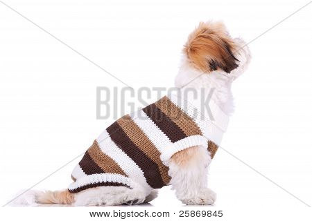 Dressed Shih Tzu Puppy Looking Up At Something
