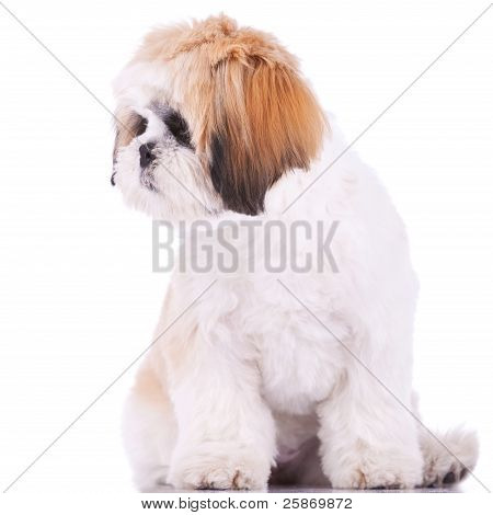 Shih Tzu Looking At Its Side