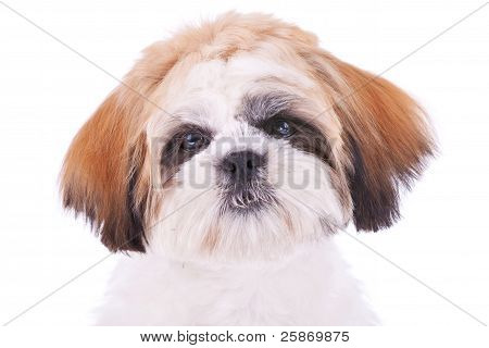 Cute Face Of A Little Shih Tzu