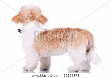 Back Of A Shih Tzu Puppy Standing