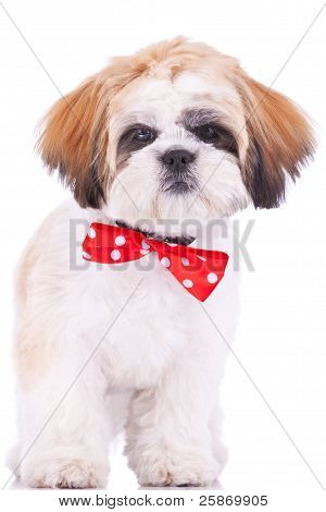 Cute Shih Tzu Puppy Standing