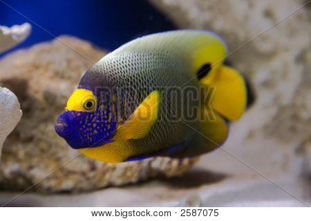 Fish Angelfish.