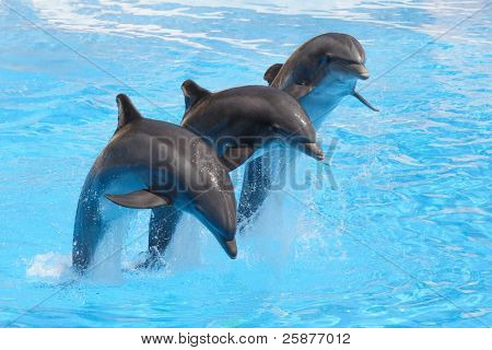 Three bottlenose dolphins performing a leap in formation in a show