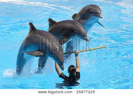 A trio of dolphins leaping over a pole held by a trainer