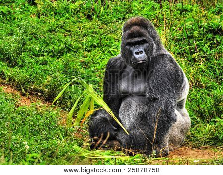 An HDR image of a male silver back gorilla sitting holding a piece of vegetation