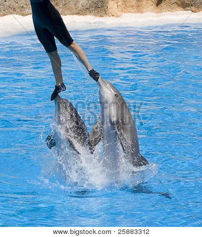 Dolphins leaping and lifting trainer in a show
