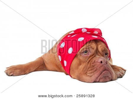 Dogue De Bordeaux puppy with red scarf of polka-dot design, isolated on white