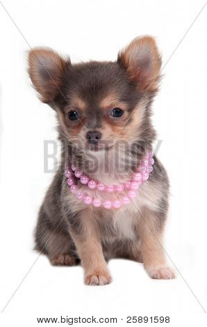 Chihuahua puppy with pink necklace