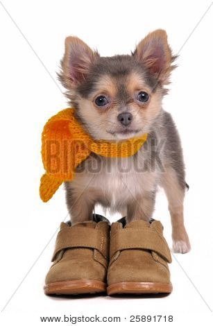 Chihuahua puppy with boots and scarf isolated on white background