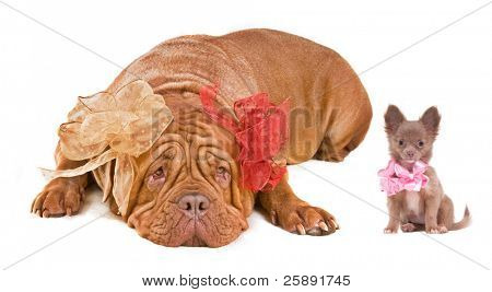 Big and small dogs - French Mastiff and Chihuahua, isolated