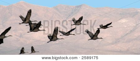 A Flock Of Cranes In Flight