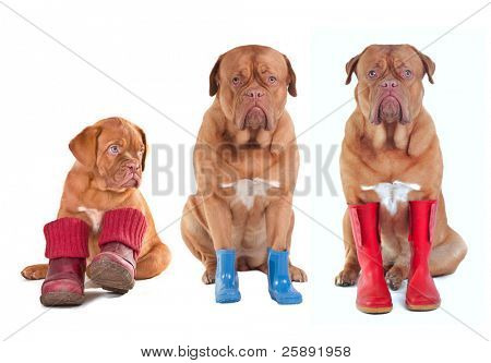 Three Dogue De Bordeaux puppies wearing shoes, boots, wellington boots