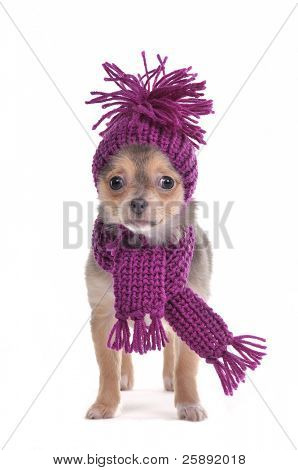 Chihuahua puppy funnily Dressed for Cold Weather
