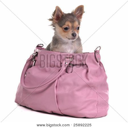 Traveller chihuahua puppy inside the bag, isolated