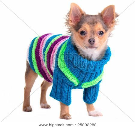 Chihuahua puppy dressed with colorful sweater, isolated on white