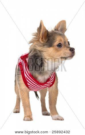 Chihuahua pequeño en términos de camiseta roja y blanca