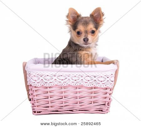 Tiny Chihuahua puppy girl (bitch) peeking from a handmade pink basket