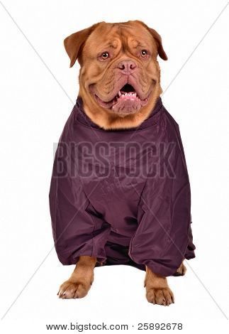 Dogue de Bordeaux dressed with raincoat for rainy weather, isolated