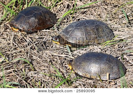 Blandings tortugas en Illinois