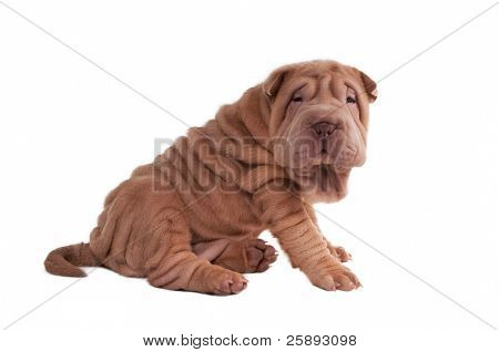 Shar-pei puppy sitting isolated on white background