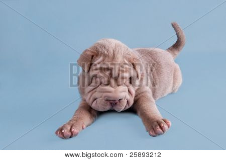 Sharpei puppy dreaming sweetly on the floor
