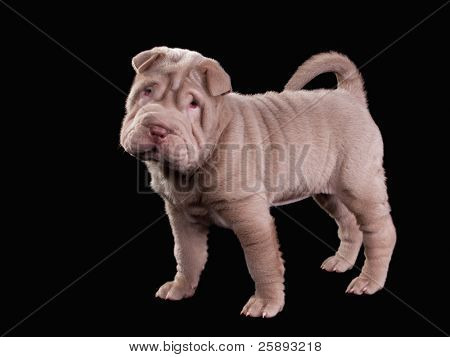 Beige Sharpei puppy standing, isolated on black background