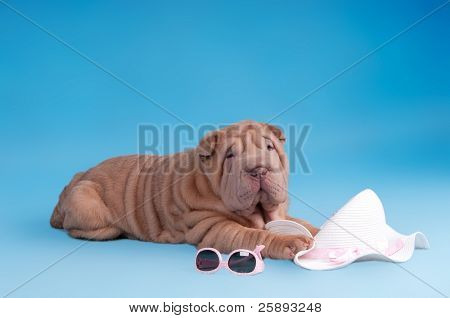 Adorable Sharpei puppy is lying next to sunglasses and summer hat