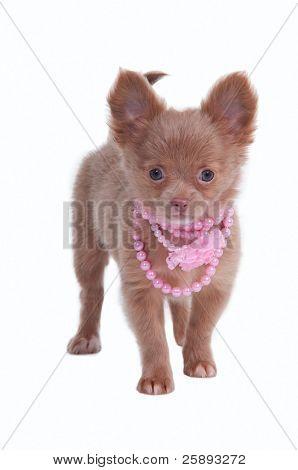 Cachorro Chihhuahua vestindo colar rosa isolado no fundo branco