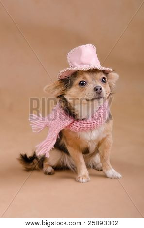 Chihuahua puppy detective dressed with pink hat and scarf