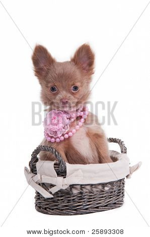 Tiny Chihuahua female puppy with pink beads sitting in a handmade basket