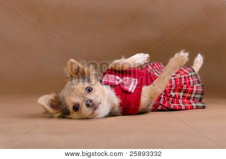 Chihuahua puppy wearing red kilt lying on its back isolated on baige background