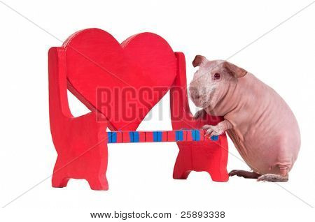 Bald guinea pig is playing with a red toy bench