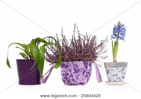 Three flower pots - Lavender, Hyacinth and Cattleya Orchid isolated on white background