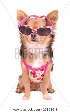 Chihuahua puppy wearing pink sun glasses and t-shirt isolated on white background