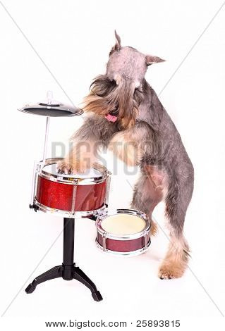 Drummer dog, isolated on white background