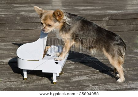 Maestro chihuahua dog is playing on piano at sunny stage