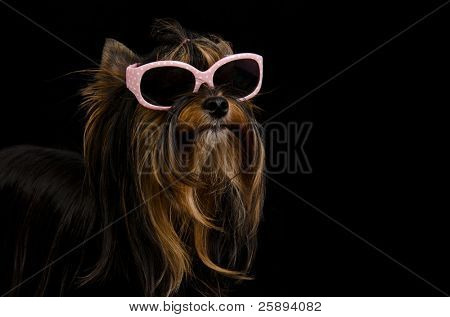 Yorkie with pink sun glasses against black background